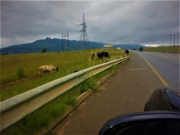 Un-Fenced Roads With Cattle