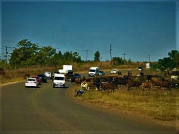 Cattle On The Roads Lead To Traffic Jam